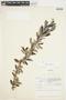 Salix glauca L., Canada, J. W. Thieret 4962, F
