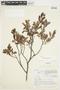 Salix glauca L., Canada, J. W. Thieret 4796, F
