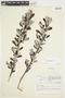Salix glauca L., Canada, J. W. Thieret 4637, F
