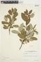 Salix glauca L., Canada, J. W. Thieret 4316, F