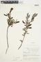 Salix glauca L., Canada, J. W. Thieret 6606, F