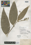 Eugenia boliviensis Rusby, BOLIVIA, M. Bang 825, Isotype, F