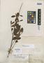 Eugenia subalterna Benth., BRITISH GUIANA [Guyana], R. H. Schomburgk 634, Isotype, F