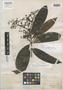 Eugenia subobliqua Benth., BRITISH GUIANA [Guyana], R. H. Schomburgk 597, Isotype, F