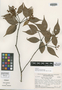 Marlierea vicina McVaugh, BRITISH GUIANA [Guyana], S. S. Tillett 45172, Isotype, F