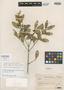 Myrceugenia rufescens image