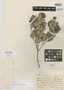 Myrcia manacalensis Urb., CUBA, E. L. Ekman 9416, Isotype, F