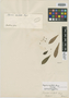 Myrcia acutata O. Berg, BRAZIL, G. Gardner 2606, Isotype, F