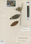 Myrcia bergiana var. angustifolia O. Berg, BRAZIL, L. Riedel 605, Possible type, F