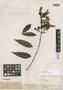 Myrcia bullata O. Berg, BRAZIL, A.-C. Vauthier 384, Possible type, F