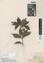 Myrcia detergens Miq., BRAZIL, J. S. Blanchet 3558, Isotype, F