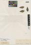 Myrcia gemmiflora O. Berg, BRAZIL, G. Gardner 4676, Isotype, F