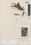 Myrcia hispida var. angustifolia O. Berg, BRAZIL, H. W. Schott 1005, Isotype, F