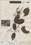 Myrcia latifolia O. Berg, BRAZIL, E. F. Poeppig 2872, Isotype, F