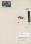 Myrcia martiana O. Berg, BRAZIL, H. W. Schott 1092, Isotype, F
