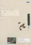 Myrcia mugiensis Cambess., BRAZIL, A. F. C. P. de Saint-Hilaire, Isotype, F