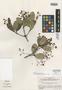 Myrcia planifolia McVaugh, BRAZIL, B. Maguire 28685, Isotype, F