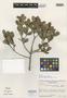 Myrcia revolutifolia McVaugh, BRITISH GUIANA [Guyana], B. Maguire 35462, Isotype, F