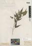 Myrcia sericiflora O. Berg, BRAZIL, F. Sellow 1050, Isotype, F