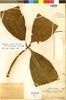 Stylogyne cauliflora (Mart. & Miq.) Mez, PERU, Ll. Williams 2081, Paratype, F