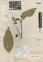 Heisteria spruceana Engl., Brazil, R. Spruce 1510, Isotype, F