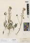 Chylismia lancifolia image