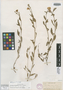 Oenothera platanorum image