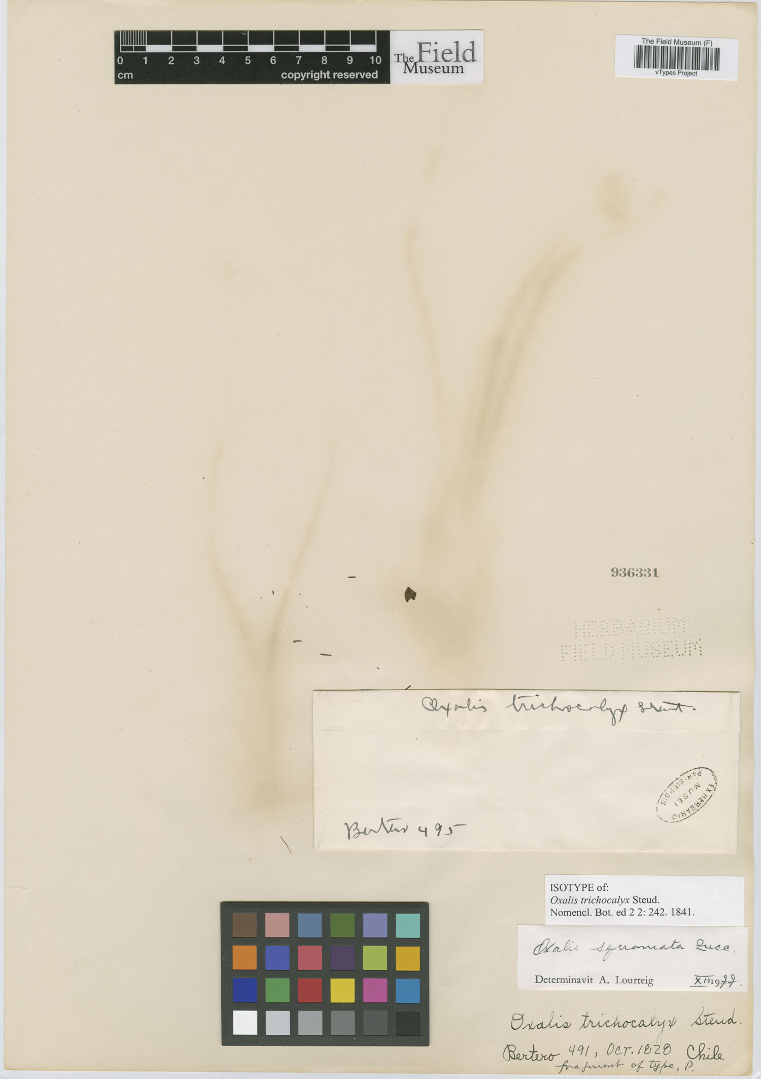 Oxalis trichocalyx image