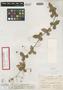 Passiflora bahamensis Britton, BAHAMAS, N. L. Britton 392, Isotype, F