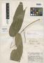Piper imberbe Trel. & Standl., Guatemala, J. A. Steyermark 39857, Holotype, F