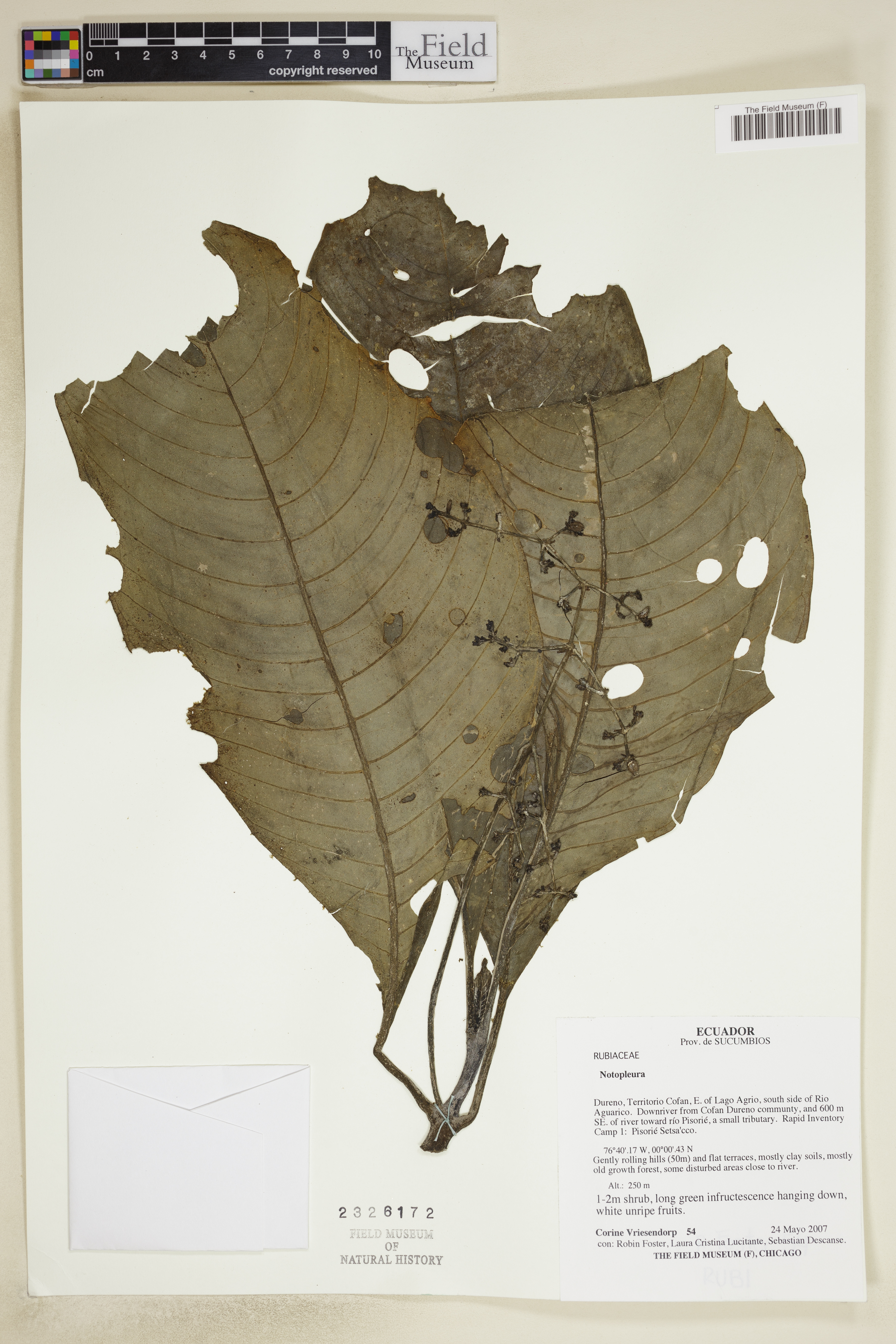 Notopleura image