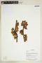 Herbarium Sheet V0375874F
