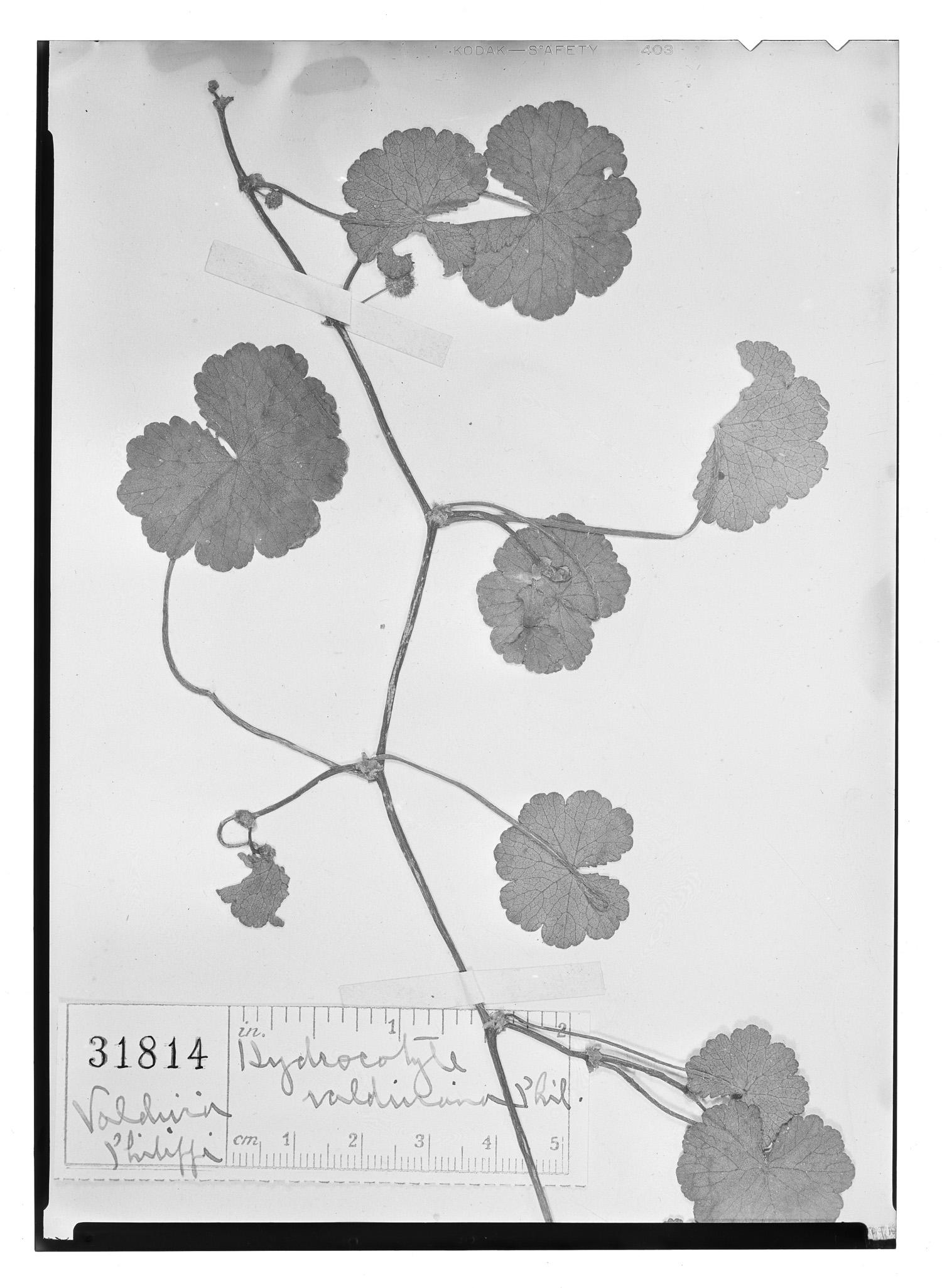 Hydrocotyle chamaemorus image