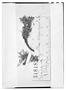 Azorella trifoliolata image