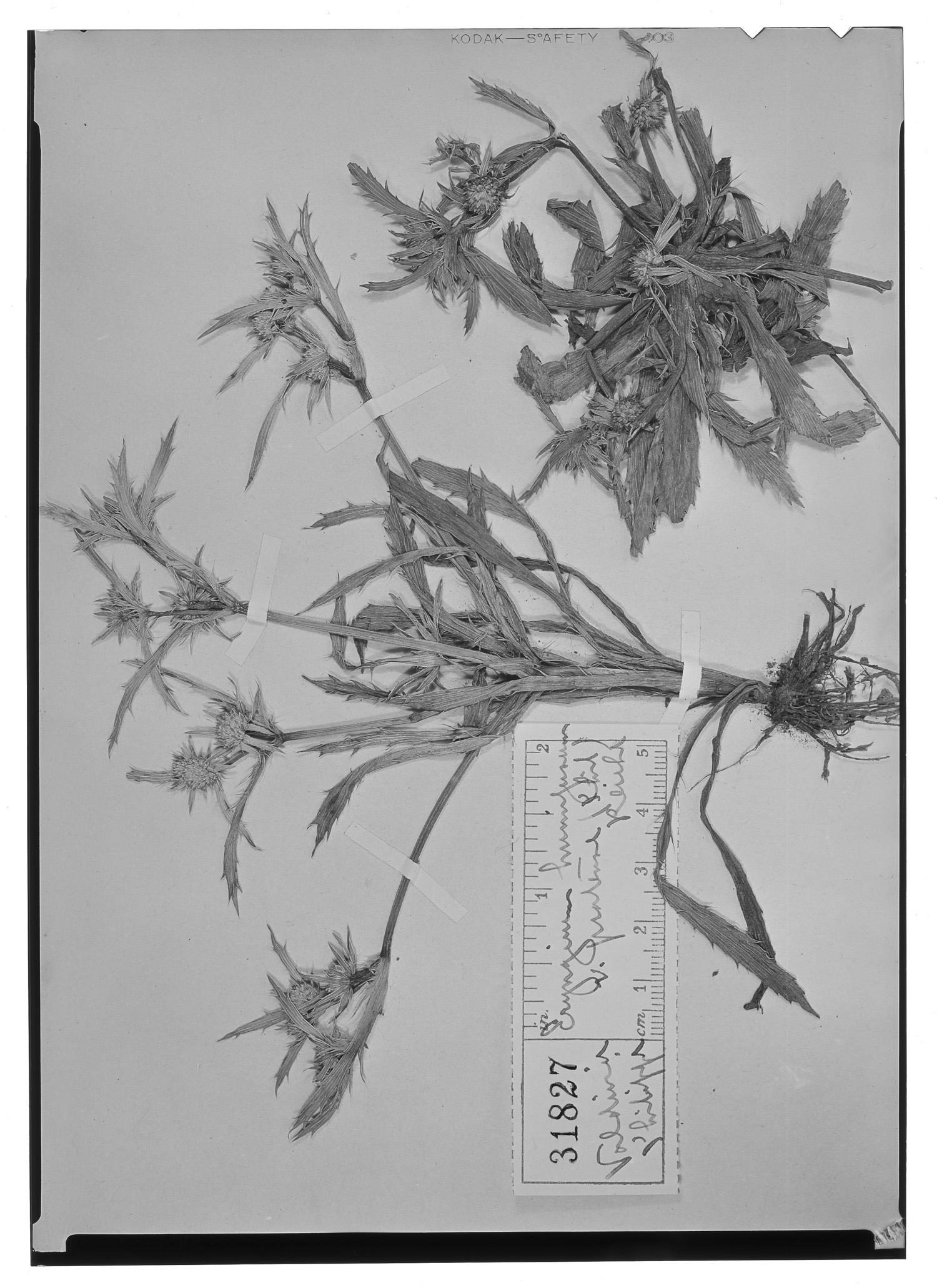 Eryngium humifusum image