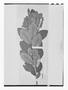 Field Museum photo negatives collection; Wien specimen of Clethra cutervoana Szyszyl., PERU, C. von Jelski 160, Isotype, W