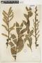 Salix myrsinifolia image