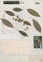 Manilkara meridionalis var. caribbensis Gilly, VENEZUELA, O. O. Miller 103, Isotype, F