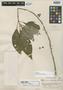 Hoffmannia villosula Standl., PERU, E. P. Killip 24817, Holotype, F