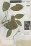 Gnetum vinosum Elmer, Philippines, A. D. E. Elmer 12283, Isotype, F