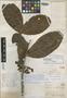 Sloanea brevipes Benth., BRITISH GUIANA [Guyana], M. R.  Schomburgk 1021, Isotype, F