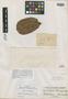 Sloanea schomburgkii Spruce ex Benth., BRITISH GUIANA [Guyana], R. H. Schomburgk 773, Syntype, F