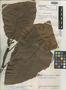 Sloanea caudata Steyerm., VENEZUELA, J. A. Steyermark 60544, Holotype, F