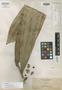 Calamus megaphyllus Becc., Philippines, A. D. E. Elmer 11878, Isotype, F