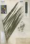 Calamus microcarpus Becc., Philippines, A. D. E. Elmer 10676, Isotype, F