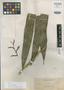 Calamus multinervis Becc., PHILIPPINES, A. D. E. Elmer 11791, Syntype, F