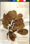 Ficus americana Aubl., BOLIVIA, B. A. Krukoff 11045, F
