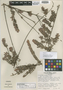 Disterigma luteynii Wilbur, Panama, J. L. Luteyn 3206, Isotype, F