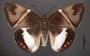 Telchin licus C dorsal habitus cmz2