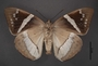Telchin licus C ventral habitus cmz2